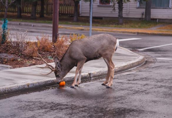 Deer_on_a_Banff_City_street_(11410737746).jpg